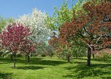 Bei alberi della sorgente in fioritura Fotografie Stock Libere da Diritti