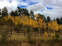 Bei alberi della tremula di Colorado immagini stock libere da diritti