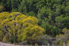 Bei alberi di caduta nel Wyoming fotografia stock