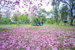 Bei alberi e fiori rosa di Rosy Trumpet al campo da giuoco, parco pubblico di Phutthamonthon, provincia di Nakhon Pathom, Tailand fotografia stock