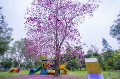 Bei alberi e fiori rosa di Rosy Trumpet al campo da giuoco, parco pubblico di Phutthamonthon, provincia di Nakhon Pathom, Tailand immagine stock
