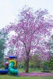 Bei alberi e fiori rosa di Rosy Trumpet al campo da giuoco, parco pubblico di Phutthamonthon, provincia di Nakhon Pathom, Tailand immagine stock libera da diritti