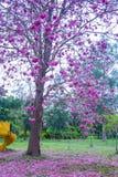 Bei alberi e fiori rosa di Rosy Trumpet al campo da giuoco, parco pubblico di Phutthamonthon, provincia di Nakhon Pathom, Tailand immagini stock
