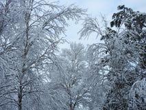 Bei alberi nevosi di inverno, Lituania Immagini Stock Libere da Diritti