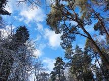 Bei alberi nevosi nell'inverno, Lituania Immagine Stock