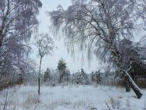 Bei alberi nevosi in palude, Lituania Fotografia Stock