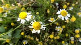 Bei ambiti di provenienza della natura Ambiti di provenienza della camomilla Paesaggi del fiore Fotografia Stock