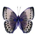 Bei blu e Grey Butterfly (Cambogia Junglequeen nell'immaginazione Fotografia Stock