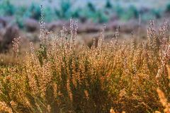 Bei boschetti fertili della fioritura dell'erica nella foresta belga contro il contesto della natura soleggiata luminosa fotografia stock