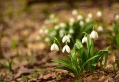 Bei bucaneve bianchi della primavera nella foresta Immagini Stock Libere da Diritti