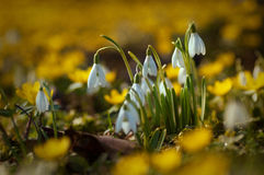 Bei bucaneve fra i fiori gialli nell'erba durante la f Fotografie Stock Libere da Diritti