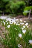 Bei bucaneve nell'erba in giardino immagini stock libere da diritti