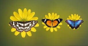 Bei butterlies Fotografia Stock