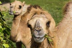 Bei cammelli con un fronte felice Fotografia Stock Libera da Diritti