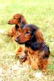Bei cani Fotografia Stock Libera da Diritti