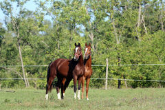 Bei cavalli curiosi sul prato di estate con il backgrou del silvicoltore Fotografia Stock