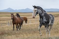 Bei cavalli su un'azienda agricola nella Patagonia del sud l'argentina immagini stock