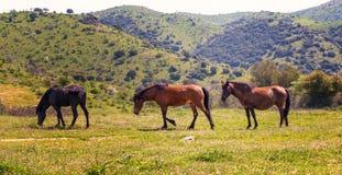 Bei cavalli in un prato Fotografia Stock