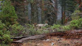 Bei cervi che camminano nella foresta di autunno in sequoia NP, 4K archivi video