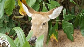 Bei cervi che si siedono nella fine verde del cespuglio sulla vista Passi i cervi in kheo di khao dello zoo, Pattaya, Tailandia archivi video