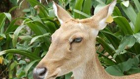Bei cervi che si siedono nella fine verde del cespuglio sulla vista Passi i cervi in kheo di khao dello zoo, Pattaya, Tailandia video d archivio