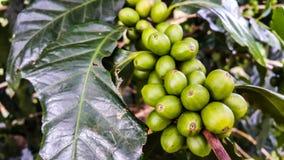 Bei chicchi di caffè verdi freschi sul ramo di albero Fotografia Stock Libera da Diritti