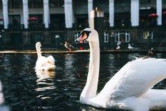 Bei cigni bianchi che nuotano sul canale del fiume di Alster vicino al comune a Amburgo Fotografia Stock Libera da Diritti