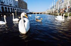 Bei cigni bianchi che nuotano sul canale del fiume di Alster vicino al comune a Amburgo Immagine Stock Libera da Diritti