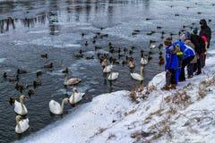 Bei cigni e anatre selvatiche sul fiume fotografie stock