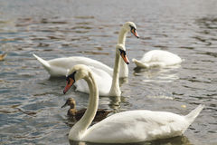 Bei cigni nell'acqua Coppie di bei cigni bianchi in lago Immagine Stock