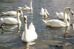 Bei cigni nell'acqua Coppie di bei cigni bianchi in lago Immagine Stock Libera da Diritti