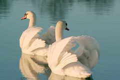 Bei cigni su un lago al tramonto Immagini Stock