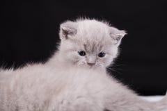 Bei colori britannici del lillà del gatto Immagini Stock