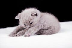 Bei colori britannici del lillà del gatto Fotografia Stock