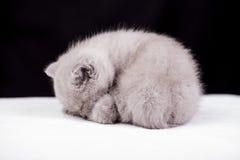 Bei colori britannici del lillà del gatto Fotografia Stock Libera da Diritti