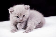 Bei colori britannici del lillà del gatto Fotografie Stock Libere da Diritti