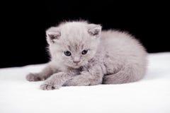 Bei colori britannici del lillà del gatto Immagini Stock Libere da Diritti