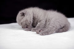 Bei colori britannici del lillà del gatto Immagine Stock