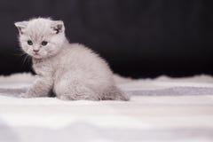 Bei colori britannici del lillà del gatto Fotografie Stock