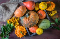 Bei colori misti delle zucche mature che stanno sull'erba sul diagramma d'agricoltura al giorno del ringraziamento Fotografie Stock