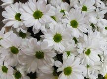 Bei crisantemi bianchi in un vaso, come immagine di sfondo immagine stock libera da diritti