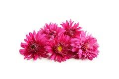 Bei crisantemi porpora isolati su fondo bianco Fotografia Stock Libera da Diritti