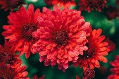 Bei crisantemi rossi Immagini Stock Libere da Diritti