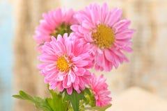 Bei crisantemi sboccianti Fotografie Stock