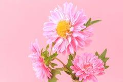 Bei crisantemi sboccianti Fotografia Stock