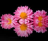 Bei crisantemi sboccianti Fotografia Stock Libera da Diritti