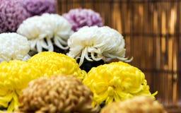 Bei crisantemi variopinti in un giardino giapponese chiuso Primo piano Immagini Stock