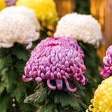 Bei crisantemi variopinti in un giardino giapponese chiuso Primo piano Fotografia Stock