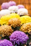 Bei crisantemi variopinti in un giardino giapponese chiuso Primo piano verticale Fotografie Stock