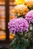 Bei crisantemi variopinti in un giardino giapponese chiuso Primo piano verticale Fotografia Stock Libera da Diritti